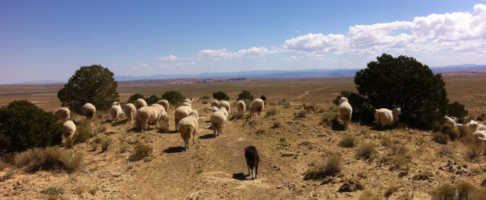Navajo Sheep Herd